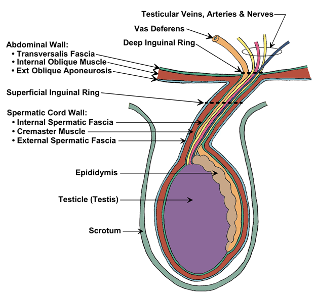 figure 2: schematic diagram showing relationship of abdominal wall to outer  layers of spermatic cord